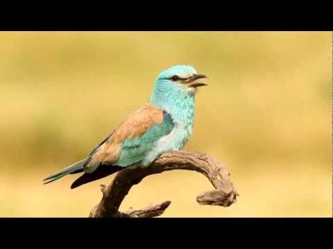 European Roller (Coracias garrulus)