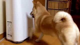空気清浄機をどつきまわす柴犬の子犬どんぐりPuppy Shiba Inu Donguri, hate the air cleaner