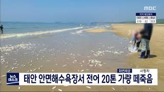 태안군 안면도해수욕장서 전어 떼죽음..20t 추정/대전…