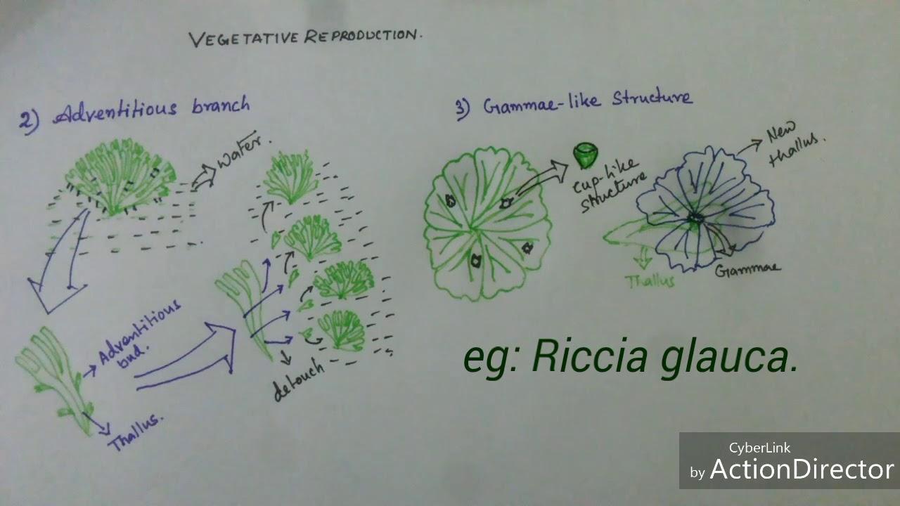hight resolution of bryophyta vegetative reproduction of riccia sp