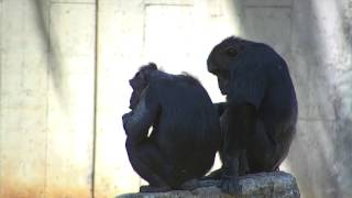 Chimps Seating on a Rock - Royalty Free Footage