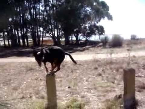 Dasher, The Australian Kelpie Leaping Trick.MPG