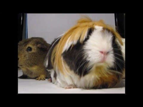 Meet the guinea gang