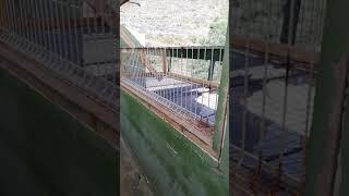 Gambar cover Mis instalaciones de palomas mensajeras