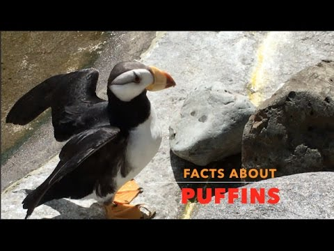 PUFFIN FACTS FOR KIDS   PUFFINS AT A ZOO - YouTube