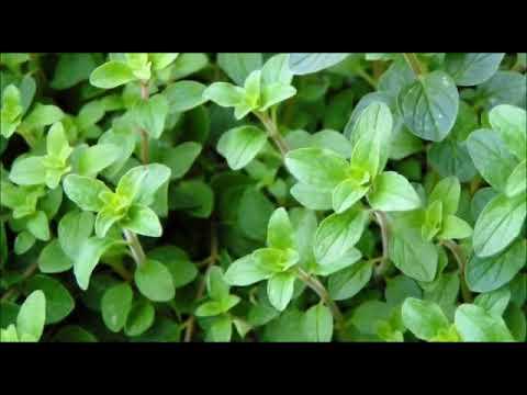 marjolaine plante m dicinale youtube