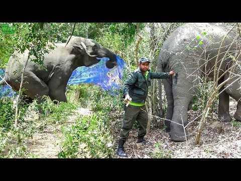 Humans to the Rescue! Elephant shot in the leg being saved