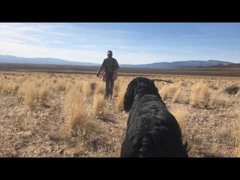 Training Hunts with Gordon Setters, Kendrew & Islay
