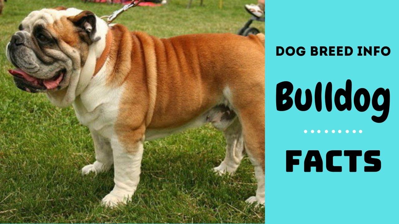Bulldog Dog Breed All