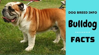 Bulldog dog breed. All breed characteristics and facts about Bulldogs.