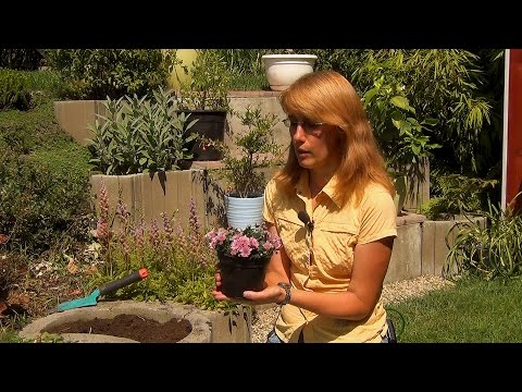 Хризантемы. Посадка и уход.