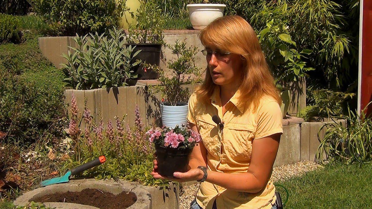 Хризантемы посадка и уход