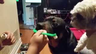 Rottweiler Teeth Brushing