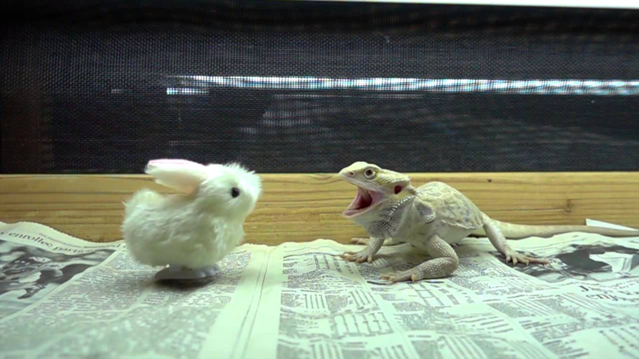 Baby bunny vs dragon youtube baby bunny vs dragon thecheapjerseys Gallery