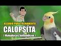 ASSOBIO EXEMPLO 'TEMA ANDY GRIFFITH' P/ ENSINAR CALOPSITA