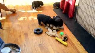Rottweiler Puppies For Sale, Ofa, Akc, Adrk, Pink Papered German Import Lines,