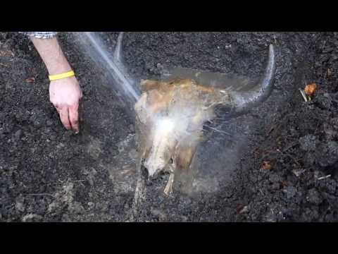 Bison Skull Buried & Cleaned
