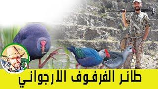 طائر الفرفور الارجواني