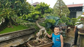 SH.1394.Báo giá 200tr cây Roi Bonsai đẹp mê li càng ngắm càng say tại vườn Anh Tuấn. tp Đà Nẵng