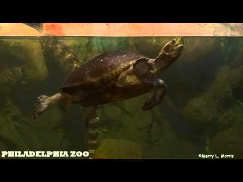 Philadelphia Zoo Central American River Turtle