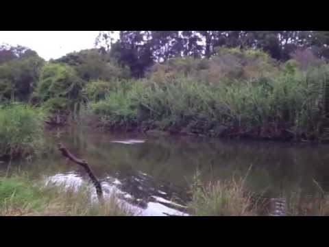 Wolli Creek Flying-Foxes belly-dipping in creek