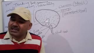 Human Brain. मानव मस्तिष्क Brain anatomy and functions. Forebrain.Midbrain and Hindbrain.
