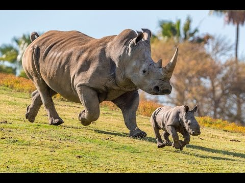 Baby Rhino Born Thanks to Science from YouTube · Duration:  34 seconds