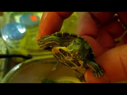красноухие черепахи и рыбки