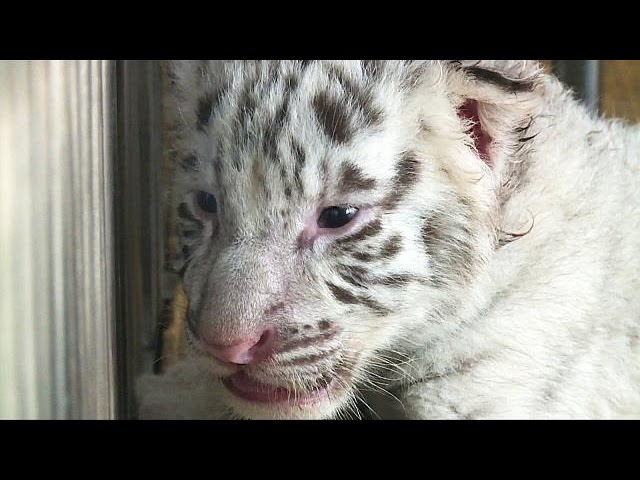 White tiger cubs are in the pink