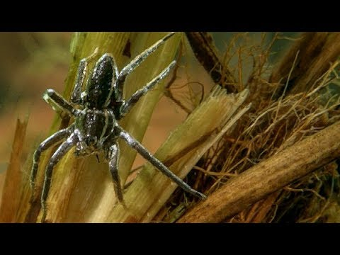 The Raft Spider is the Perfect Underwater Predator | Deadly 60 | Earth Unplugged