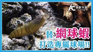 怕螯蝦吃魚?! 那就養網球蝦吧!教你打造網球蝦缸!|AC草影水族