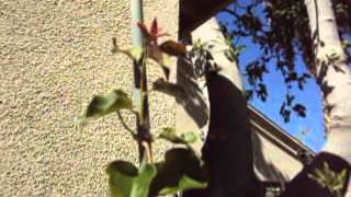Garden Pepperazzi - How to grow a bougainvillea tree