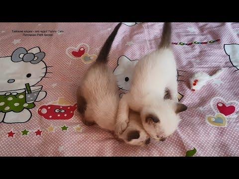 Тайские котята впервые без мамы! Тайские кошки - это чудо! Funny Cats