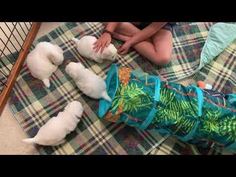 4-week old Coton de Tulear Puppies