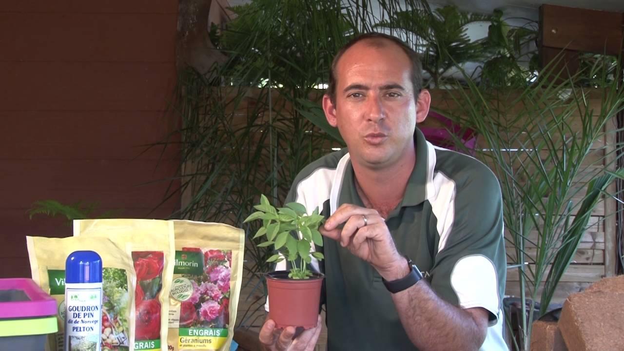 Comment Planter Du Basilic comment planter le basilic citron