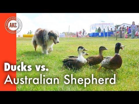 Ducks vs Australian Shepherd