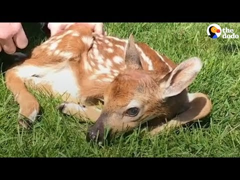What To Do If You Find A Baby Deer | The Dodo