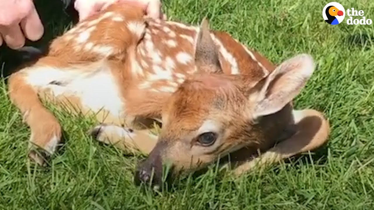 What To Do If You Find A Baby Deer  The Dodo - Youtube-8075