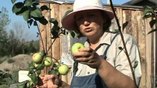 Описание и фото яблони сорта Чудное + видео.