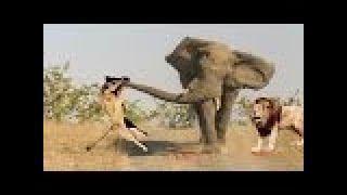 LİON vs ELEPHANT Real Fight ►► Gorilla (Big Baboon) Serval Cat - Most Amazing Wild Animal Attacks