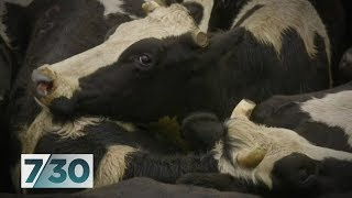 Australia's status as a dairy powerhouse long gone as farmers walk off the land | 7.30