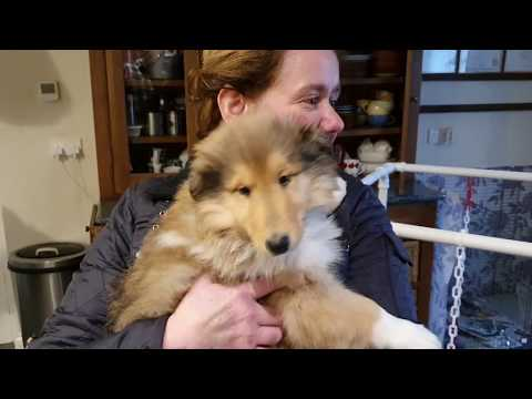 Uther's First Day - We bring home our Rough Collie Puppy! WARNING - EXTREME CUTENESS!!