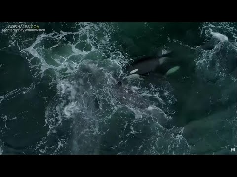 Watch 5 Killer Whales Attack, Kill Calf Traveling With Mother Through Monterey Bay