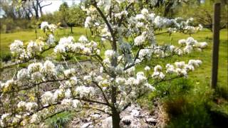 Orchard walk in pear blossom time