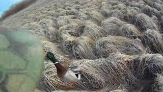 Весенняя охота с подсадной уткой на крякового селезня