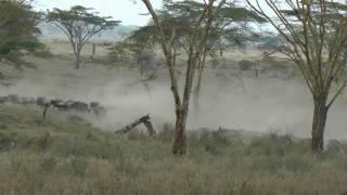 The Migration arrives in Central Serengeti ©Kristina Trowbridge