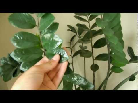 Growing Zamioculcas Zamiifolia A.K.A. ZZ Plant