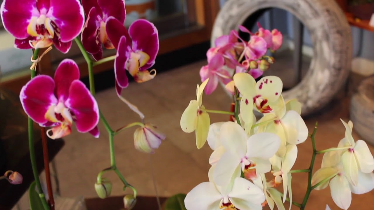 Blue ivy orchids youtube blue ivy orchids izmirmasajfo