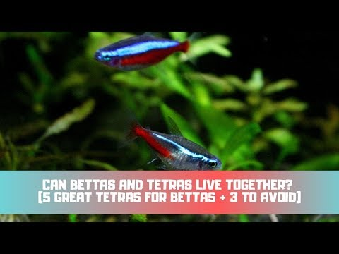 Can Bettas And Tetras Live Together? (5 GREAT Tetras For Bettas + 3 To Avoid)