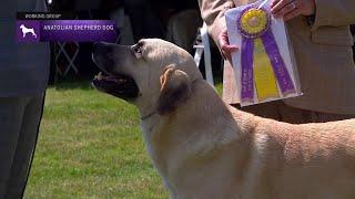 Anatolian Shepherd Dogs   Breed Judging 2021
